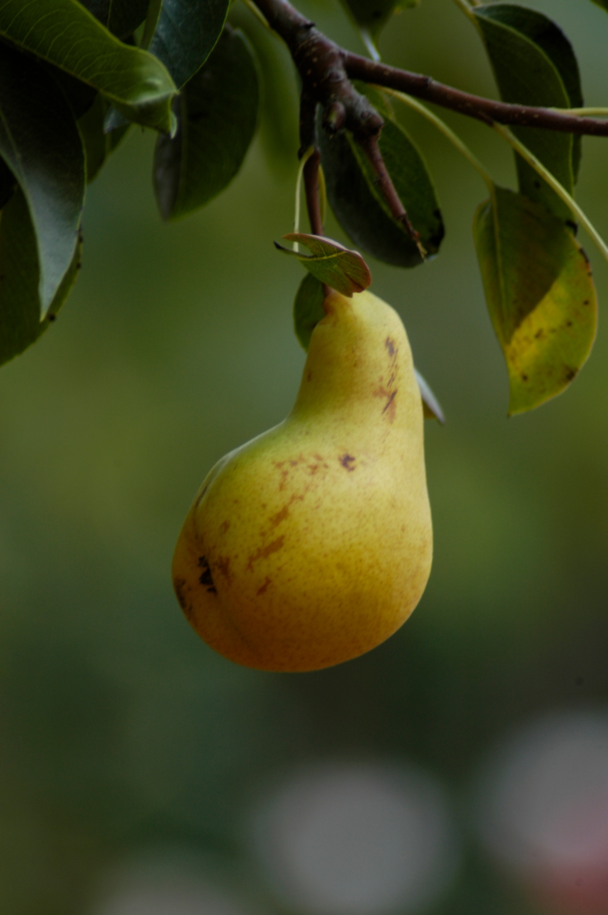 Pear harvest is under way in California.