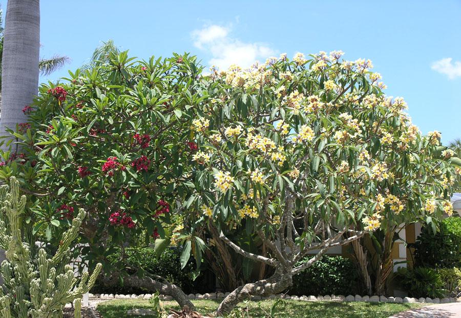 Mature plumeria tree.