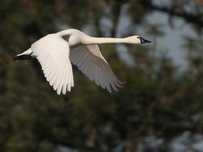 tundra swan Idaho fish & game