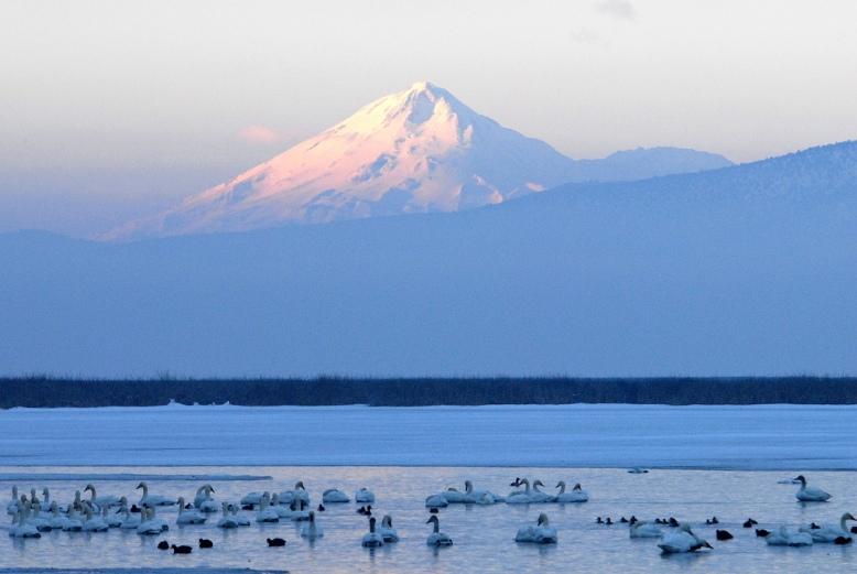 Tundra swan Shasta U.S. Fish & Wildlife