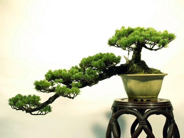 bonsai-style-5