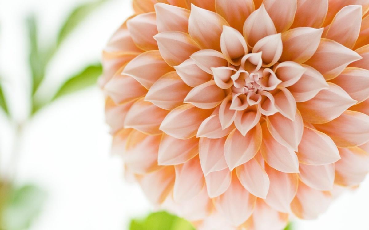 dahlia-flower-hd-wallpaper