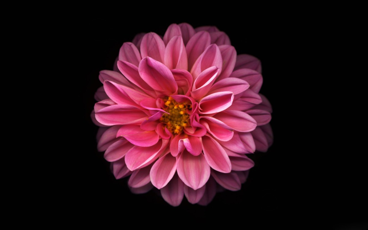 pink-dahlia-wallpaper-3929-4149-hd-wallpapers